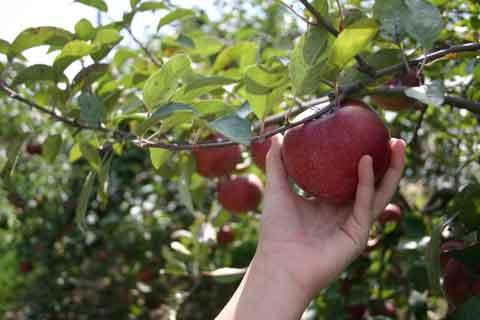 Apples, Forbidden Fruit