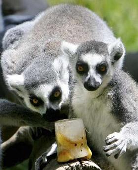 Rome Zoo - Lemur