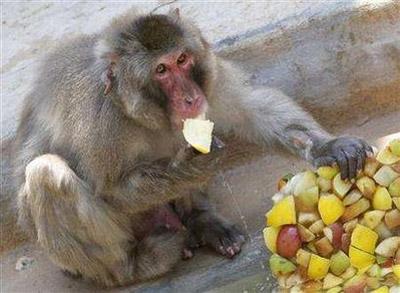 Rome Zoo - Snow Monkey