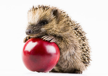 apple-hedgehog